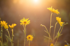 she loves me (Marc McDermott) Tags: flower sunlight backlight backlit nature evening summer beautiful golden light bokeh
