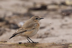 Isabelline Wheatear (Chris B@rlow) Tags: oenantheisabellina isabellinewheatear bird birds britishbirds lindisfarne holyisland northumberland nature canon7d sigma150600