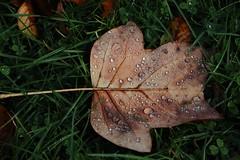 Herbst (Hugo von Schreck) Tags: hugovonschreck laub blatt herbst autumn leaf outdoor canoneos5dsr ly restful fantasticnature drops tamron28300mmf3563divcpzda010 onlythebestofnature