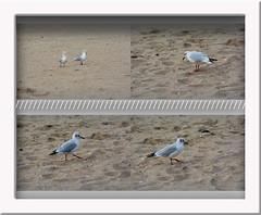 Mouettes au bord de la Manche (gillyan9) Tags: mouette oiseau bird calvados normandie manche plage sable