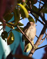 Autumn wildlife (littlestschnauzer) Tags: small nature flamingo land yorkshire uk october 2016 wildlife autumn tree singing twittering tweet perched branch