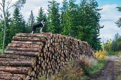 Roy,Log pile (D.A.M) Tags: autumn autumncolours dog dogs forest bordercollie eastlothian scotland westsaltouneastsaltoun westsaltoun eastsaltoun