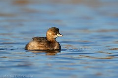 Little Grebe 66487 (wildlifetog) Tags: little lagoon grebe blackmore britishisles britain bird birds bembridge isleofwight uk mbiow martin canon england european eos7dmkii wild wildlifeeurope wildlife water nature