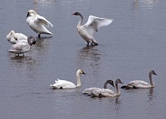 Long Necks (DewCon) Tags: tundraswan mississippiriver