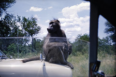 Yashica Lynx 5000 * 45mm lens, Kodachrome (aeomaster32) Tags: yashica lynx kodachrome krugerpark wildlife baboon