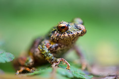 Prof (Guldenfels-photos) Tags: frog ecuador equateur serpent lezard lizard grenouille verte green yellow nikon d800 macro tropical blue i am