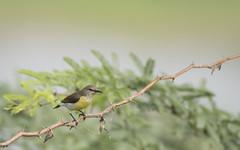 Birding (nareshkumarmani) Tags: manisphotography birdphotography birding birdsofcoimbatore nareshkumar sunbird