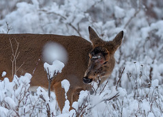 AngieDecTop (jmishefske) Tags: wehr december nikon nature d500 center whitnall milwaukee franklin disease angie wildlife wisconsin park doe whitetail deer 2016