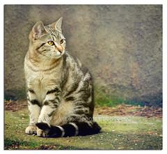 Tabby (pongo 2007) Tags: cat tabby pongo2007 tigrotto