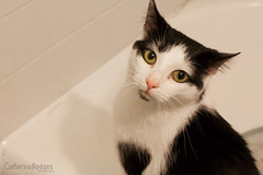 Ally Cat (catherinehodges) Tags: cat cats kitty kitten fluff fluffball fluffy whiskers cute adorable pets animals