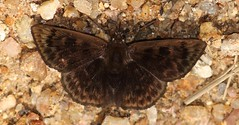 Pachyneuria sp. (Birdernaturalist) Tags: bombuscaro butterfly carcharodini ecuador hesperiidae podocarpusnationalpark pyrginae richhoyer skipper zamorachinchipe