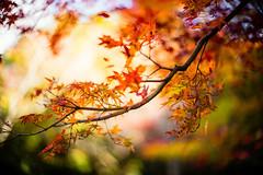 Autumn Branch (moaan) Tags: kobe hyogo japan jp autumn autumnleaves autumncolors colorsofautumn branch momiji momijibranch japanesemaple bokeh dof utata 2016 leica mp leicamp type240 noctilux 50mm f10 leicanoctilux50mmf10