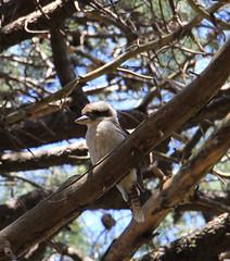 Kookaburra (jpotto) Tags: australia sydney centennialpark birds kookaburra