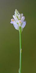 CAC019024a (jerryoldenettel) Tags: 2015 coastalplainmilkwort fl fabales kissimmeeprairiepreserve okeechobeeco polygala polygalasetacea polygalaceae rosids wildflower flower milkwort
