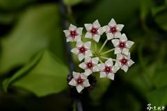 Hoya oblongata (s6168382) Tags: 花 毬蘭 hoya