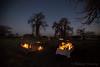21-Botswana_2016 (Beverly Houwing) Tags: africa ancient baobab botswana camp desert dusk fire glow islandoflostbaobabs kalahari makadigkadipans massive orange saltpan silhouette sunset tree