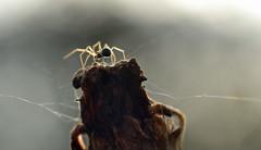 on a spent marigold flower head (conall..) Tags: 201116 raynox macro spider web marigold flower head november silk money moneyspider linyphiidae