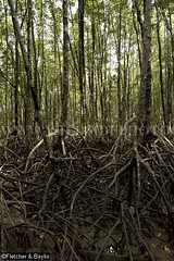39982 Mangrove trees (Rhizophora sp) with prop roots, Mangrove Forest Research Centre, Ranong Biosphere Reserve, Ranong, Thailand. (K Fletcher & D Baylis) Tags: plant vegetation flora tree mangrove mangrovetree mangroveforest swamp mangroveswamp rhizophora roots proproots stiltroots intertidal mangroveforestresearchcentre biospherereserve ranongbiospherereserve ranong thailand southeastasia november2016