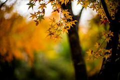 November Rain (moaan) Tags: kyoto japan jp autumn november autumnleaves autumncolors colorsofautumn rain rainyday dew bokeh dof utata 2016 leica mp leicamp type240 noctilux 50mm f10 leicanoctilux50mmf10