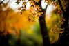 November Rain (moaan) Tags: kyoto japan jp autumn november autumnleaves autumncolors colorsofautumn rain rainyday dew bokeh dof utata 2016 leica mp leicamp type240 noctilux 50mm f10 leicanoctilux50mmf10 京都 大原 三千院