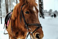 Hevonen / A Horse (Tuomo Lindfors) Tags: hevonen horse iisalmi suomi finland topazlabs clarity dxo filmpack lumi snow greatphotographers platinumheartaward