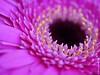 Gerbera (mehunter) Tags: 45mm africandaisy leicadgmacroelmarit45f28 panasoniclumixg7 depthoffield flora flower gerbera indoor plant postfocus