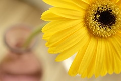 gerbera on the table/ (kurupa_m) Tags: gerbera yellow flower plant macro xt10