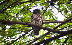 The wise old owl (aghiljv) Tags: aghiljvphotography nikon nikond3200 green tree owl trivandrum cet cetmca black brown wild life wildlife bird white sky wise old