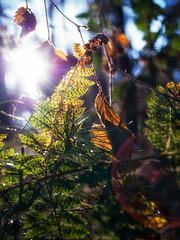 Herbstlicht (Silaris Inc.) Tags: farn sonnenstrahlen herbst sonne sonnenlicht laub wald bltter pentaxm28mmf28 natur gegenlicht oererkenschwick nordrheinwestfalen deutschland de