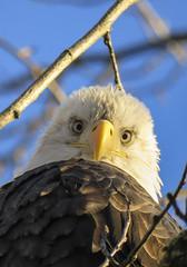 Watching (Canuck Chick) Tags: bald eagle eyes watching chilliwack britishcolumbia salmon focus intense baldie baldeagle vedderriver
