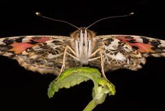 Painted Lady (rhershow) Tags: nikond750 macro bug insect ringflash sigma15028 portrait peggynotebaertnaturemuseum butterfly paintedlady
