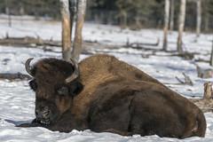 Snoozing in the sun (tmeallen) Tags: woodbuffalo bisonbisonathabascae snoozing snow winter treetrunks threatened wildlife yukonwildlifepreserve whitehorse yukonterritories