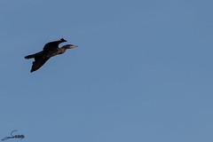 Cormorán 2 (Sachada2010) Tags: sachada sachada2010 javier martin canon 80d tamron sp 150600mm di vc usd animal galicia nature naturaleza ave pajaro bird cormoran cormorant