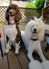 Joined At The Hip (lesliezemenek) Tags: white cords tuxedo moby bruno standardpoodle corded partipoodle