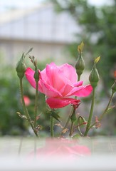 (late2lense) Tags: pink rose reflections petals foliage rosebuds