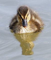 one little duck went swimming one day (explored) (Dawn Porter) Tags: duck duckling somerset