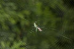 Spider eating series 9 (Richard Ricciardi) Tags: spider eating web spinne araa  araigne ragno timeseries     gagamba    nhn  spidertimeseries