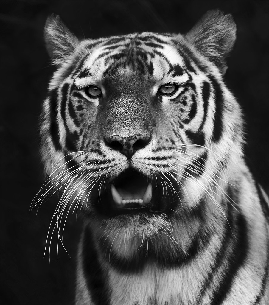 Black And White Tiger Growling