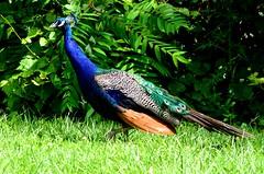Peacock (MorboKat) Tags: toronto bird zoo peacock torontozoo indianpeafowl pavocristatus bluepeafowl