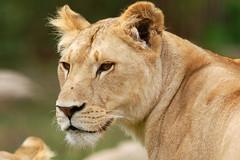 Panthera leo 2