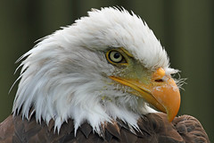 American Bald Eagle - 'Devil in Feathers' (Buggers1962) Tags: portrait bird nature face animal closeup canon zoo close eagle wildlife baldeagle feathers raptor birdsofprey birdofprey americanbaldeagle greatphotographers theraptorfoundation eaglepicture itsazoooutthere canon7d thewonderfulworldofbirds highqualityanimals