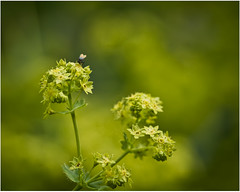 Fly (AEChown) Tags: summer flower green garden fly ladysmantle