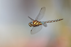 _MG_3745_Aeshna mixta (HelmiGloor) Tags: dragonflies dragonfly odonata migranthawker aeshnamixta grosslibellen edellibellen weiach herbstmosaikjungfer