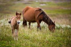 Curious Youngster (jeff_a_goldberg) Tags: horse canada novascotia wildhorse parkscanada sableisland feralhorse fishermansharbour sableislandhorse sableislandpony sableislandnationalparkreserve
