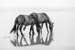 A Little Water (jeff_a_goldberg) Tags: horse canada novascotia nationalgeographic wildhorse parkscanada sableisland feralhorse fishermansharbour sableislandhorse sableislandpony sableislandnationalparkreserve
