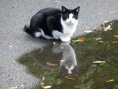 Reflecting cat (stillunusual) Tags: uk england reflection water cat manchester puddle mirror leve m19 levenshulme