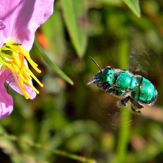 Euglossa dilemma (Green Orchid Bee)