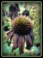 Herbst (karin_b1966) Tags: plant flower garden blossom echinacea pflanze blume blüte garten sonnenhut verwelkt witherd 2013