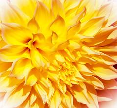 _13L5120 (5816OL) Tags: flowers dad dahlias arburetum arboretum2013