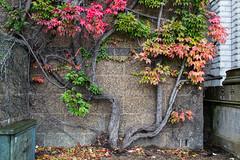 DSC_5610.jpg (JimRJudd) Tags: tree london citadel stonework ivy headquarters hq whitehall horseguardsparade oab oldadmiraltybuilding admiraltyextension